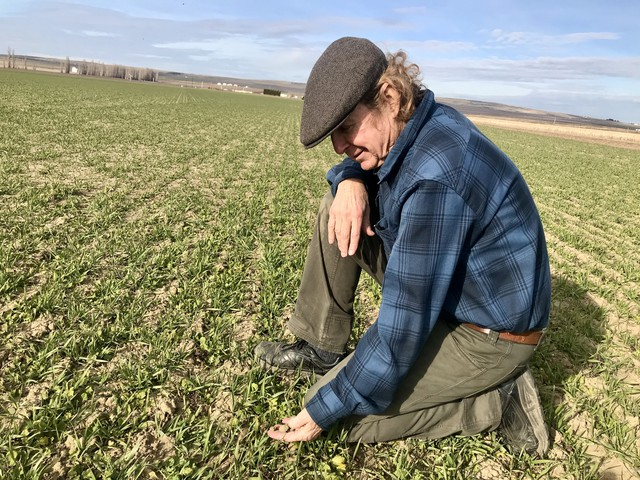 Farmer Jim Baird uses cover crops like mustard and triticale (a hybrid of wheat and rye) to improve the nutrients in his soil and to sequester carbon. Over the past 10 years, as he has intensified planting cover crops, he's sequestered up to 14 tons of carbon per acre.