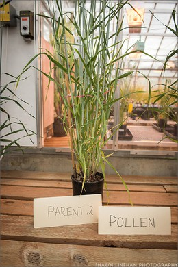OSU's Barley Project is breeding barley varieties better adapted to grow in the maritime Northwest and for specific end products.