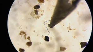 Microplastic fibers, like this one from an Oregon river, are less than 5mm and often show up in vivid color under the microscope.