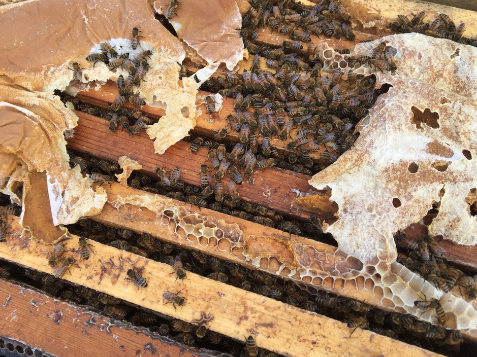 A healthy hive able to pollinate has at least eight frames mostly covered in bees on both sides. But the fear this year is that there will be many weaker hives put into California almond orchards for pollination because so many hives have died across the country.