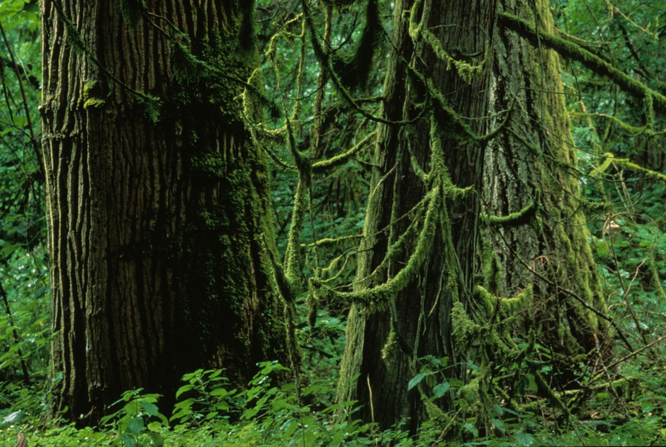 Mossy trees in Nisqually State Park.
