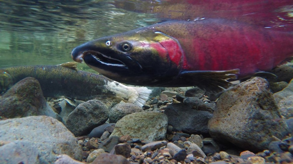 An Oregon coho salmon. Environmental groups may sue the state Department of Forestry over logging practices they say harm coho salmon.