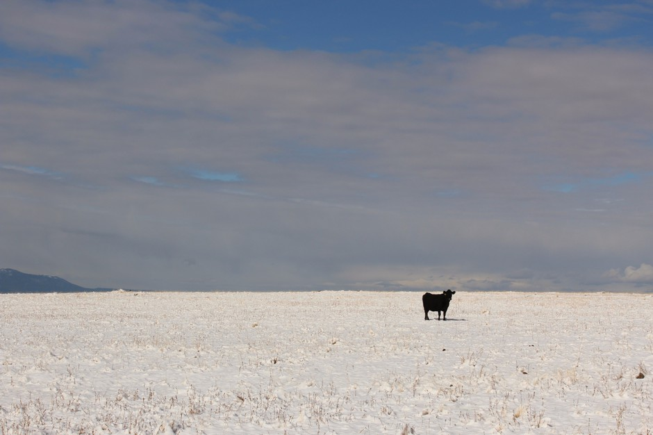 A cow stands in a snowy pasture in Wallowa County, Oregon, the epicenter of the state's conflict over gray wolf recovery. Open range cattle die for many reasons, but wolves have added stress to ranchers' operations.