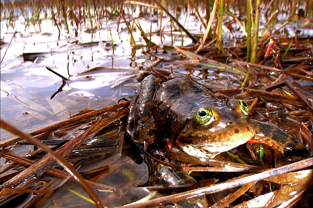 Oregon spotted frog.
