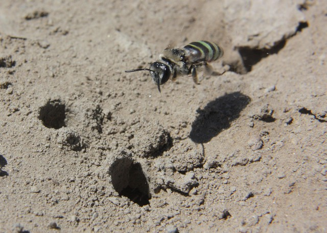 The alkali bee (Nomia melanderi) is slightly smaller than a honey bee, with opalescent stripes that shimmer between yellow, green, red and blue.