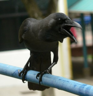 A crow squawks while sitting on a pole outside of a window in this June 30, 2007, photo.