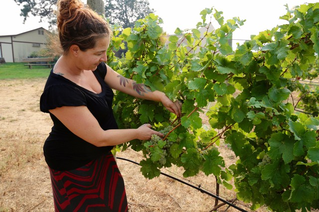 Jocelyn Bentley-Prestwich, the marketing manager at Cathedral Ridge Winery, tests the ripeness of the vineyard's Riesling grapes.