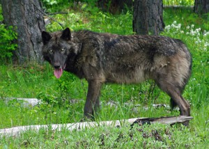 May 25, 2014 file photo of a 100-pound adult male wolf in the Mt. Emily unit.
