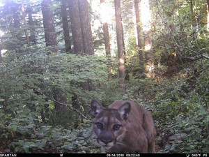 Image of a cougar thought to have killed a hiker in the Mount Hood National Forest, taken Sept. 14, 2018.