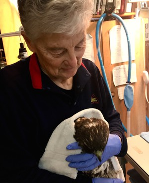 Lynn Tompkins of Blue Mountain Wildlife holds a hawk likely injured by a powerline.