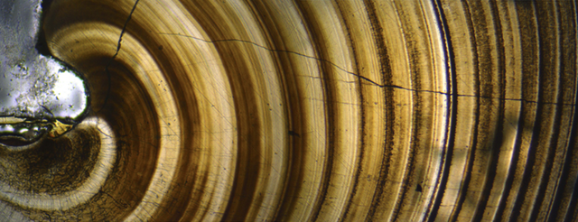 A cross section of a geoduck clam's shell shows its growth rings.