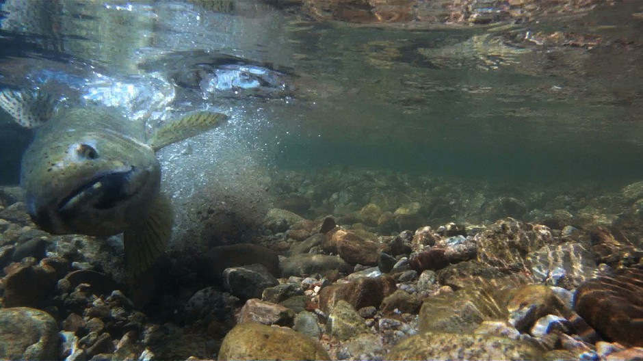 An adult steelhead digs a crevice into a streambed to deposit fish eggs into the gravel. Environmentalists worry dredging can upset the spawning cycle by disturbing these deposits.