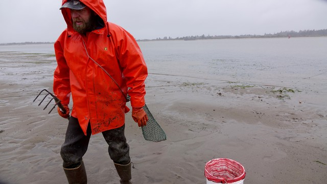 Shrimper and clammer Seth Smith harvests cockles from a mudflat in Coos Bay.