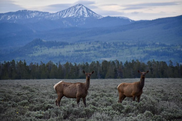 Elk stand in the sagebrush in Grand Teton National Park. Conservationists disagree about whether stricter regulations or education and voluntary programs are better at convincing hunters to use more environmentally friendly tactics.