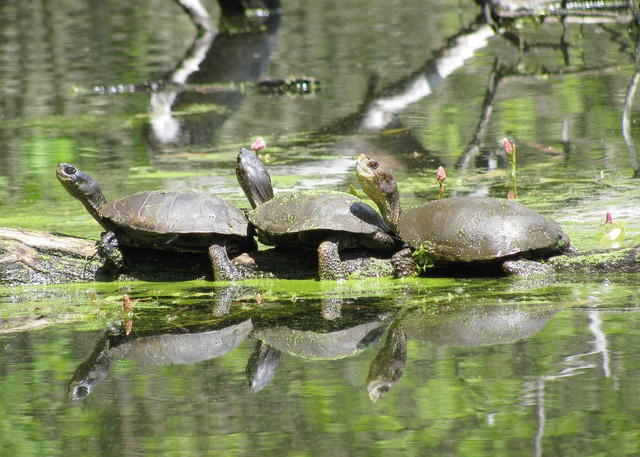 Populations of western pond turtles and their habitats have been declining. As a result, the species is on Oregon's Sensitive Species List.