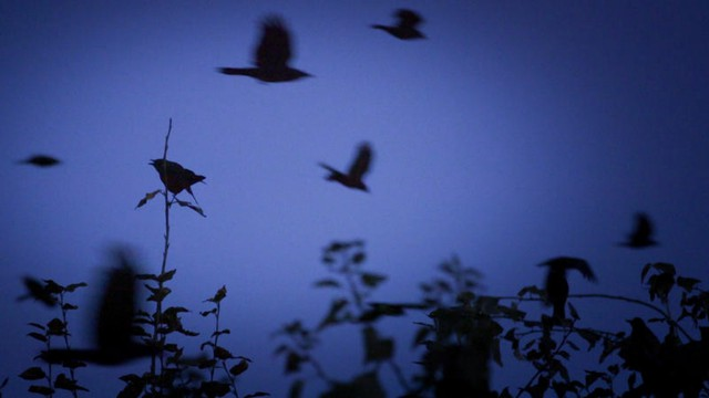 Crows fly from all over the Seattle region to reach their nighttime destination, where thousands upon thousands of them spend the night together.