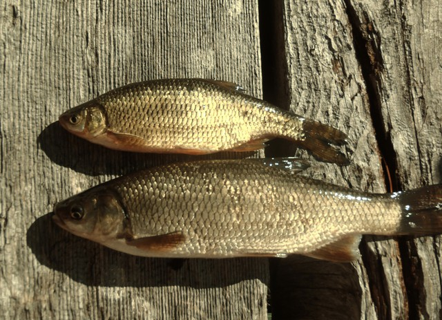 Tui chub (bottom) and a golden shiner (top). Both fish are present in Diamond Lake, but ODFW says the shiners don't proliferate and affect water quality nearly as intensely as the chub.