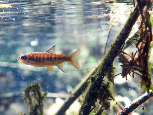 Oregon coast coho juvenile in the Siletz Basin