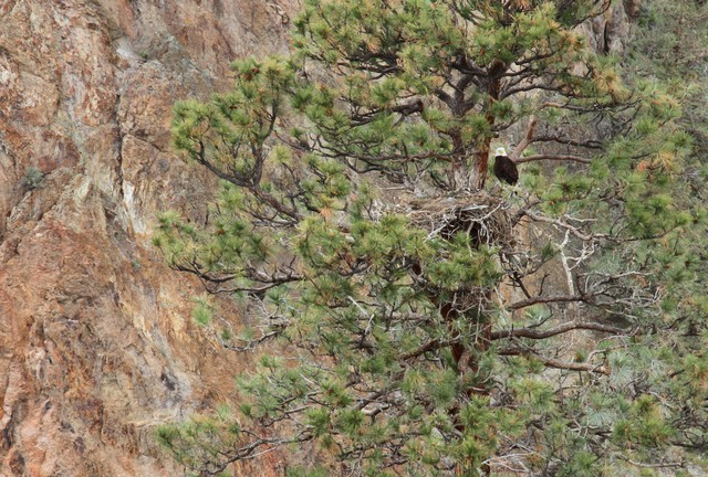 Bald eagles nest in Smith Rock State Park every year. Wildlife officials worry about the impacts a major influx of visitors may have on bald eagles and other species.