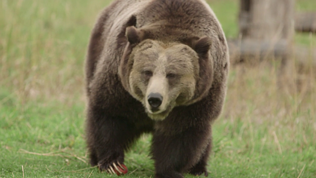 A captive grizzly bear at Washington State University's Bear Center. Before hibernating, grizzly bears can put on 10 pounds a day.