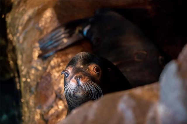 A California sea lion named Biff was removed from the Columbia River in 2009 to protect salmon and now lives at the Shedd Aquarium in Chicago.