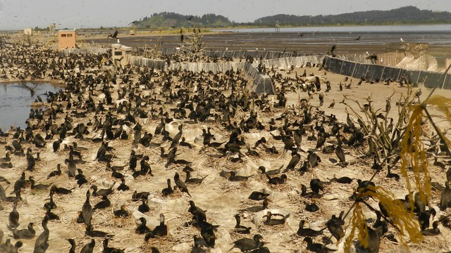 Nearly 30,000 cormorants are nesting on East Sand Island at the mouth of the Columbia River and eating millions of protected salmon andsteelhead.