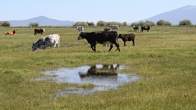 Cattle graze in a heavily irrigated pasture near the Wood River, an upper tributary of the Klamath in the summer of 2013, before the government ordered irrigators along the Sprague, Wood, and Williamson rivers to shut down.