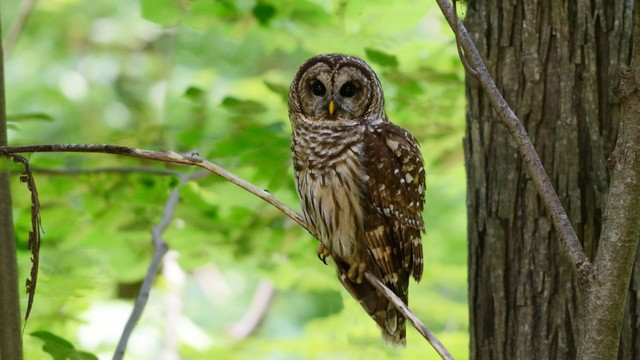 Biologists are experimenting with shooting barred owls in Northwest, in an effort to save threatened spotted owls.
