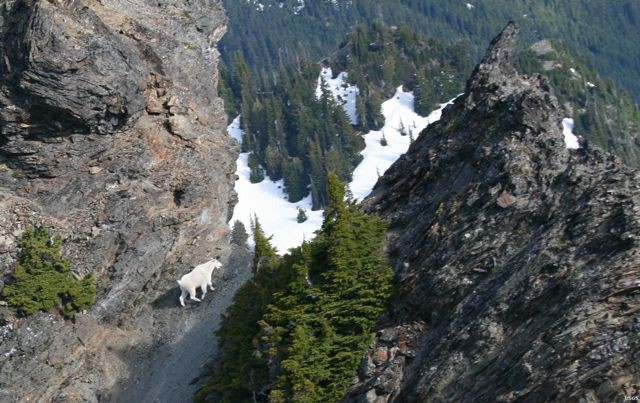 The USGS researchers snapped a shot of a mountain goat during their most recent helicopter survey. The mountain goat population has increased 40 percent since 2004.