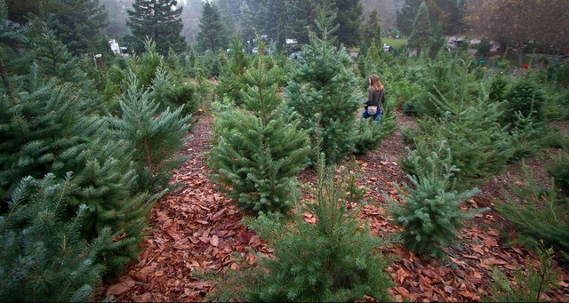 Oregon Christmas Trees.Reports Of Christmas Tree Disease In Oregon Have Been