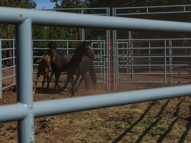 Three wild horses pace nervously in a passive bait trap in the mountains outside John Day, Oregon. They took the bait, hay on the forest floor, but tripped a wire which closed a gate behind them.