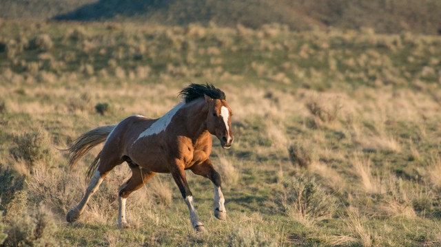 A wild stallion gallops across the high desert near Steens Mountain in southeastern Oregon. The South Steens Herd is among the easiest wild horse to see because they wander close to Highway 205 south of Frenchglen, Ore.