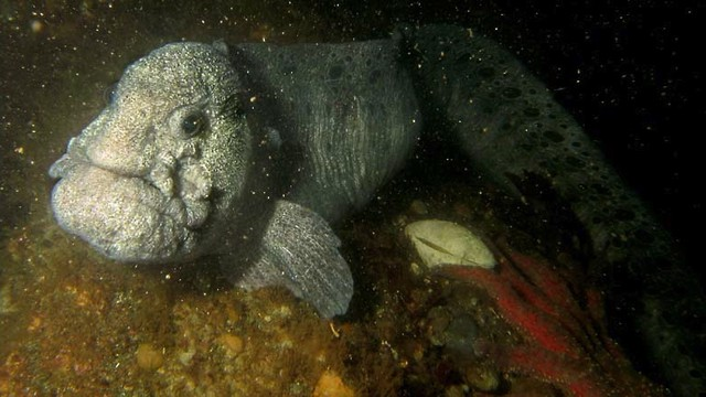 """Wolf eel is one of the """"trash fish"""" on the menu for a sustainable food fundraiser in Portland Nov. 10."""