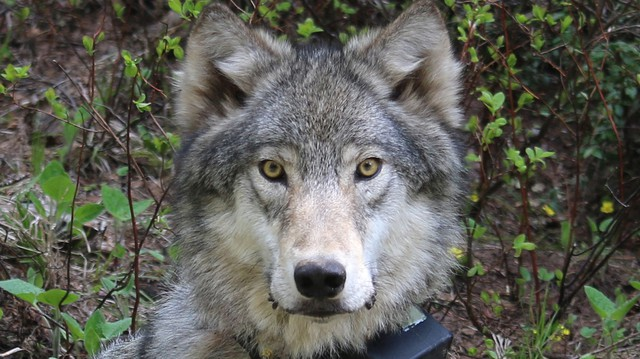 Oregon's wolf population is on track to cross the milestone of having four breeding pairs for three consecutive years at the end of December.