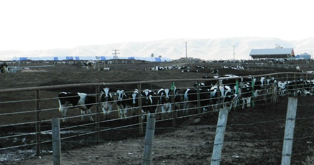 A dairy in the Yakima Valley. Two groups are suing five Yakima Valley dairies, claiming that nitrates in the drinking water harm people and the environment.