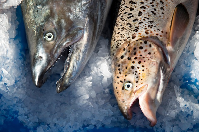 A wild Pacific salmon, left, next to a farm-raised Atlantic salmon at Home Port Seafoods in Bellingham, Washington.
