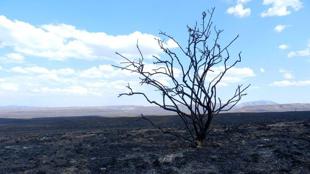 Sage charred by fires.