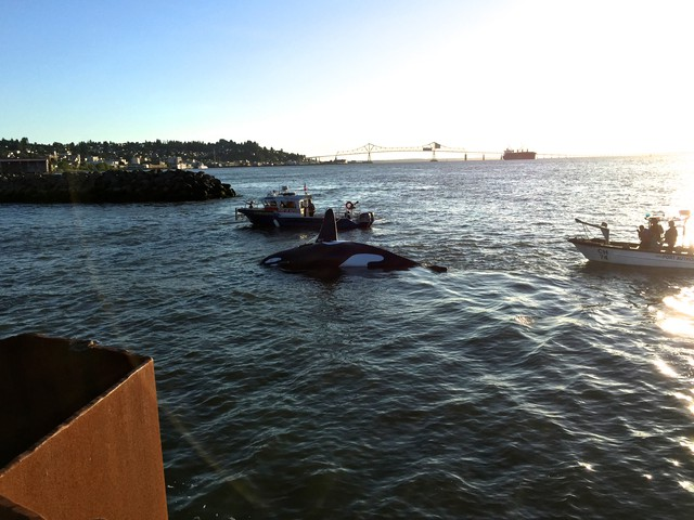 Boats guide a fiberglass orca into the Port of Astoria's East Mooring Basin.