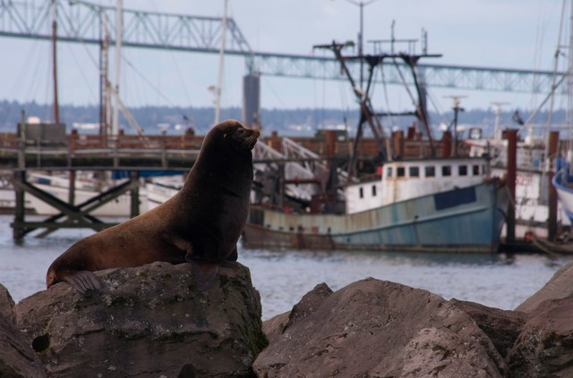 As the number of sea lions in the Columbia River grows, so do debates over the best way to manage them.