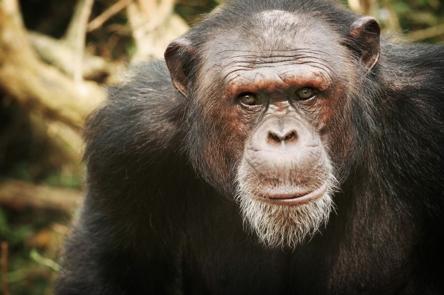 Jacky, an adult male chimpanzee, rescued by Sheri Speede.