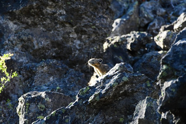 Oregon State University - Cascades' HERS Lab is studying previously unknown pika habitats in the Pacific Northwest.