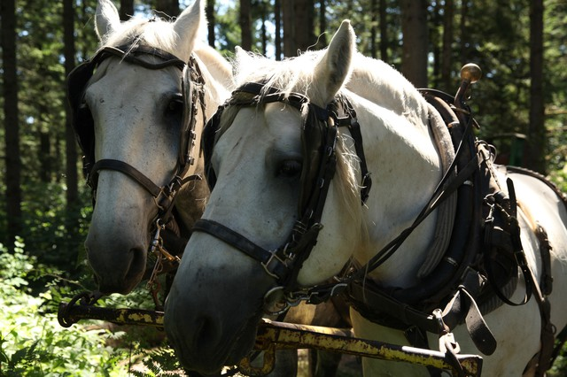 Roger's team of Percheron draft horses, Willee and Charlie.