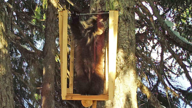 For the first time in recent history, a mother wolverine has been spotted in the southern part of Washington's Cascade Mountains.