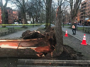 This towering timber took a tumble onto two cars along Portland's Park Blocks on Saturday, Feb. 9, 2019.