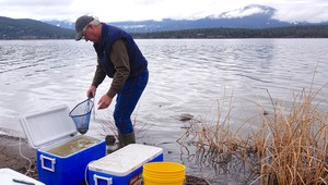Alan Mikkelsen, the senior advisor to Interior Secretary Ryan Zinke, releases captive-raised endangered sucker fish into Upper Klamath Lake.