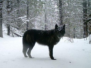 A wolf of the Wenaha Pack captured ona remote camera on U.S. Forest Service land in northern Wallowa County.