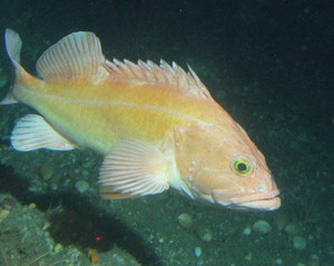 Yelloweye rockfish have been severely restricted because of overfishing, but they're recovering much faster than expected.