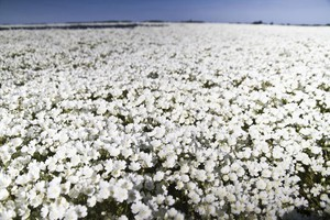 A field of sun-soaked meadowfoam. Scientists at OSU think the plant can be used to make sunscreen.
