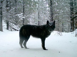 This Feb. 2017, file photo provided by the Oregon Department of Fish and Wildlife shows a gray wolf of the Wenaha Pack captured on a remote camera on U.S. Forest Service land in Oregon's northern Wallowa County.
