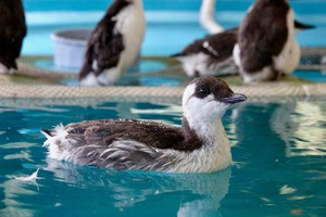 Common Murres undergo rehabilitation at the Wildlife Center of the North Coast. The birds have washed ashore, starving and in need of critical care.